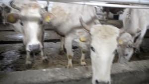 """Ardahan'da Kaybolmaya Yüz Tutan """"Zavot Sığırı"""" Devlet Desteğiyle Korunuyor"""