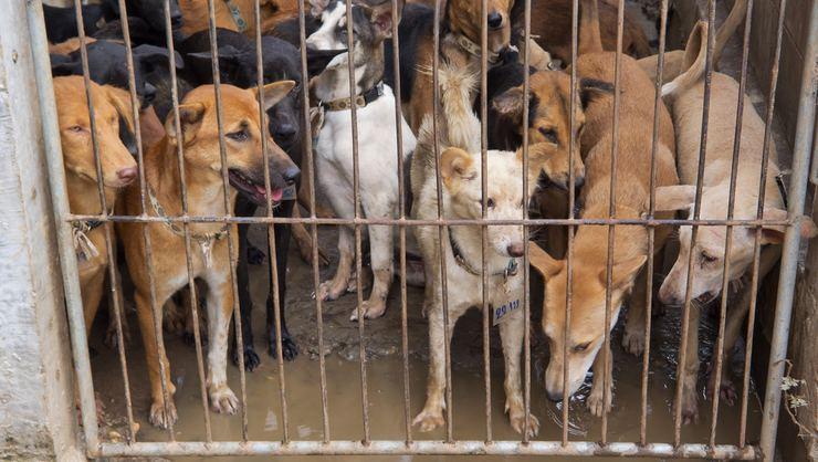 Vietnam'da halka uyarı! Köpek eti yemeyin, kuduz olursunuz