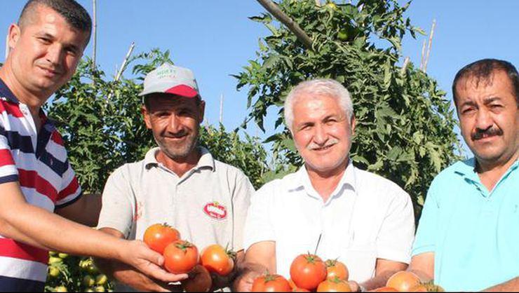 Güz domatesi, üreticinin yüzünü güldürüyor