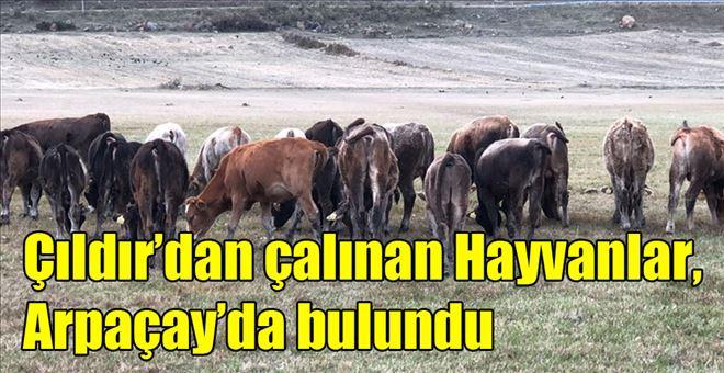 ÇILDIR'DA ÇALINAN HAYVANLAR ARPAÇAY´DA BULUNDU