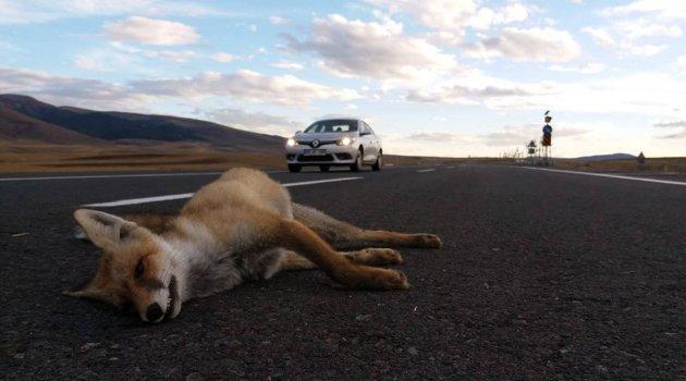 Ardahan'da Tilkilerde Trafik Canavarının Kurbanı!