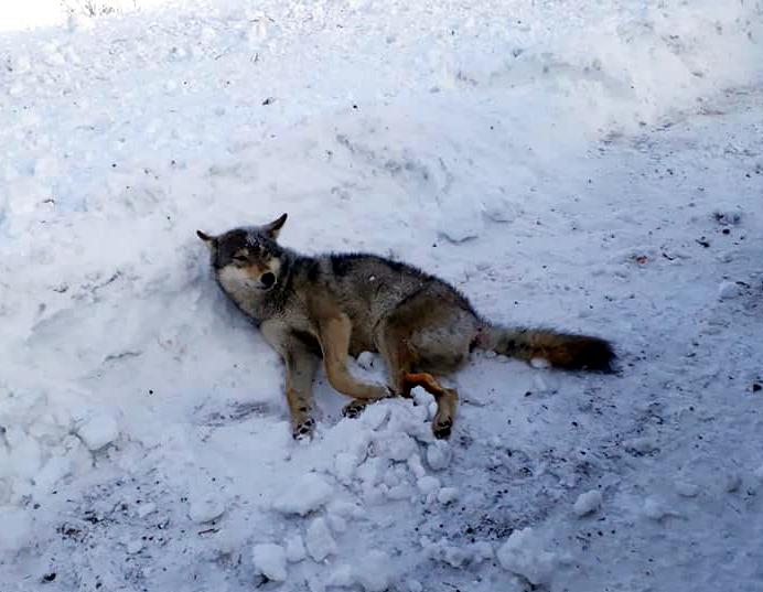 Ardahan'da ışığa gelen kurda araba çarptı!