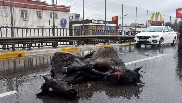 Kazada yaralanan atların yürek burkan görüntüsü