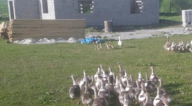 Ardahan'da Kaz ölümleri tedirgin etti!
