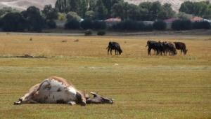 Ardahan Halilefendi'de hayvan ölümleri üreticileri tedirgin etti.
