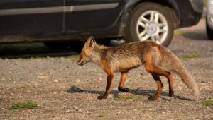 Kars'ta Aç kalan yaban hayvanlarının yiyecek arayışı kameraya yansıdı