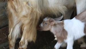 Bu keçilerin sütü bir başka! Ardıç, çam pürçeği.