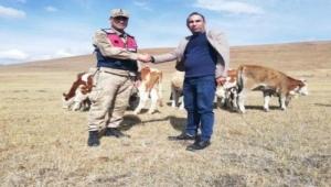 Ardahan'da çalınan 20 büyükbaş hayvandan 13'ü bulundu
