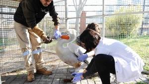 Pelikan Şakir sağlığına kavuştu, evine döndü