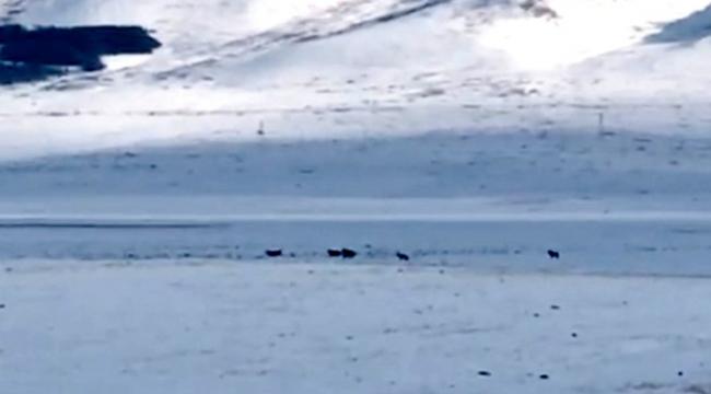 Ardahan'da kurt sürüsü yerleşim alanına indi
