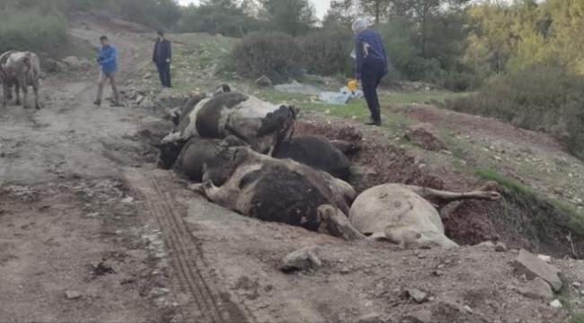 İnek hırsızları çalıp gömdükleri çoğu hayvanların gebe olduğu görüldü