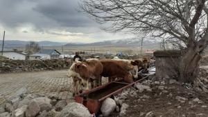 Ardahan'da korena yetmedi şimdide şap salgını nedeniyle hayvan giriş çıkışları yasaklandı.