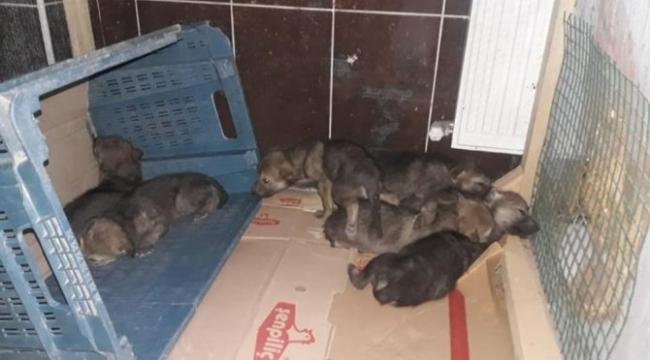Kars'ta bulunan kurt yavruları yetkililerin gözdesi oldu.