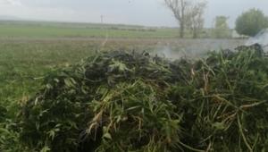 Arpaçay'a bağlı 2 farklı köyde toplam 3 bin 11 kök kenevir bitkisi yakaladı