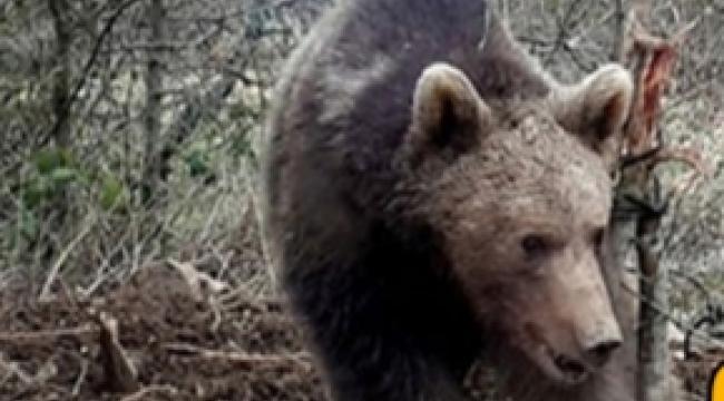 Kars'ın Sarıkamış ilçesinde ayı bir vatandaşa saldırdı