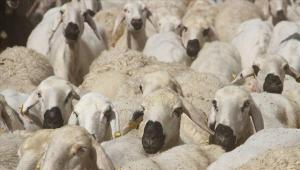 Koyun yünü yapıştırılan kurbanlık hayvan keçi çıktı