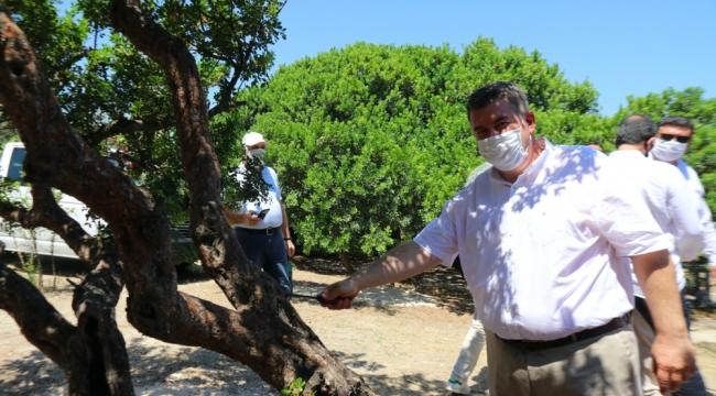 Sakız ağaçlarına ilk çizik Başkan Oran'dan!