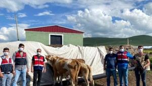 Şavşat'ta Büyükbaş Hayvan Hırsızlığı 5 Ardahan'da bUlundu