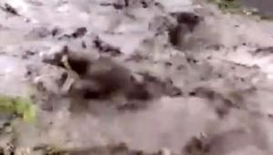 Ardahan,'da Buzağının sele kapılma anı kamerada
