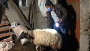 Kurtlar sürüye saldırdı sonucu 35 koyun telef oldu