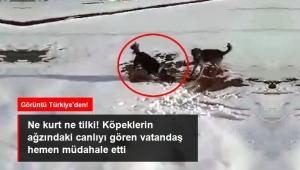 Ardahan'nın Hanak ilçesinde Köpekler su samuruna saldırdı