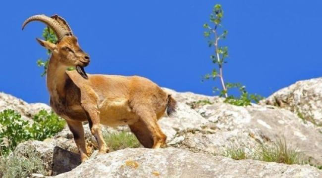 Mersin Barosu 'ihaleli dağ keçisi cinayeti' iptaline dava açtı
