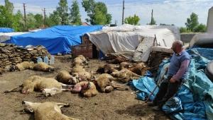 Aç kurtlar şehir merkezinde 22 koyunu telef etti