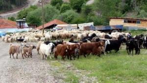 4 bin 500 lira maaşla çalıştıracak çoban bulamıyorlar