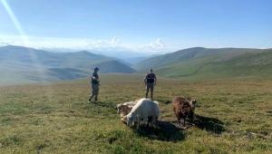 Ardahan'da çalınan 12 koyununun, 5'ini telef eden 2 şüpheli gözaltına alındı