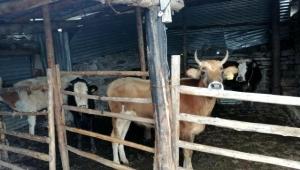 Ardahan'da 6 büyükbaş hayvanın ele geçirildi, 3 kişi gözaltına alındı.