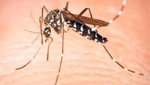 Asya kaplan sivrisineği tehlikesi! 3 ölümcül hastalık riski var