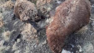 Sağanak yağışta düşen yıldırım 10 koyunu telefi