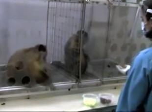 Maymunun adaletsizliğe tepkisi
